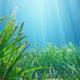 Le praterie di Posidonia raccolgono la plastica nei mari