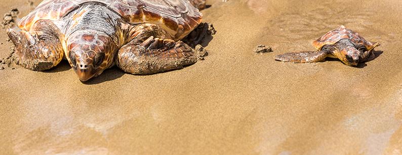 Le tartarughe marine sono una specie importante per misurare i livelli di inquinamento