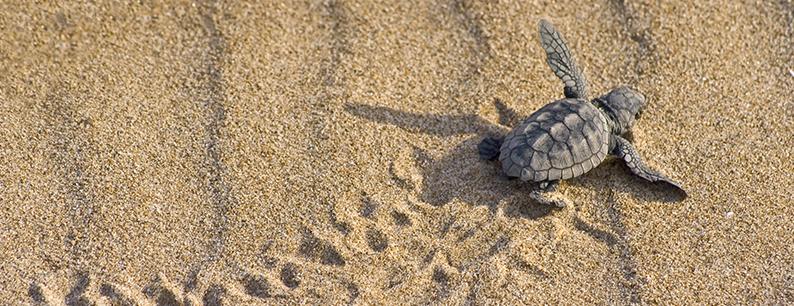 cuccioli tartarughe marine su spiaggia